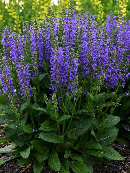 16 Perennials That Attract Hummingbirds to Your Garden! Midnight Model Salvia #Perennials #Garden #Gardening #Landscape #PerennialsForHummingbirds #Hummingbirds #Pollinators #GardenPollinators