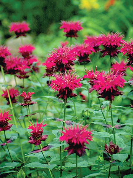 16 Perennials That Attract Hummingbirds to Your Garden! Raspberry Wine Monarda #Perennials #Garden #Gardening #Landscape #PerennialsForHummingbirds #Hummingbirds #Pollinators #GardenPollinators