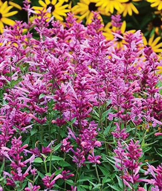 16 Perennials That Attract Hummingbirds to Your Garden! Rosie Posie Agastache #Perennials #Garden #Gardening #Landscape #PerennialsForHummingbirds #Hummingbirds #Pollinators #GardenPollinators