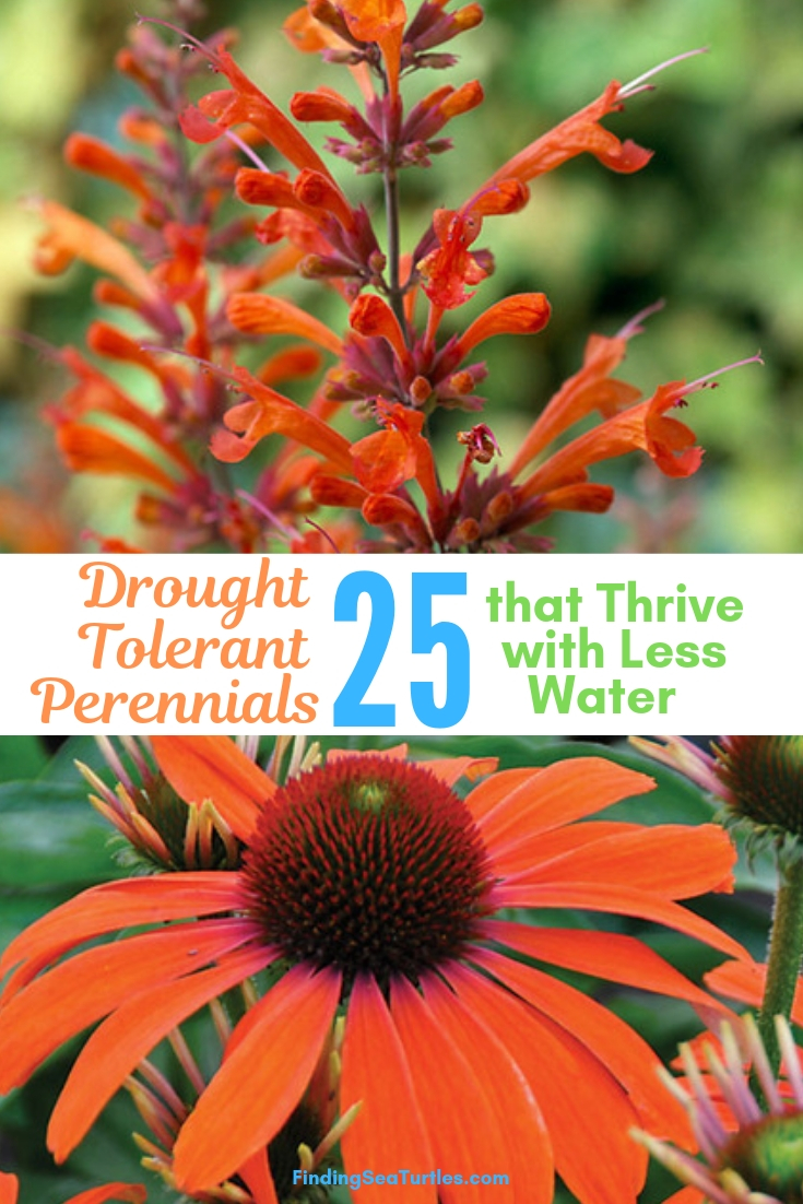 Drought Tolerant Perennials 25 That Thrive With Less Water #Garden #Gardening #Landscaping #DroughtResistant #DroughtTolerant #Perennials #DroughtResistantPerennials