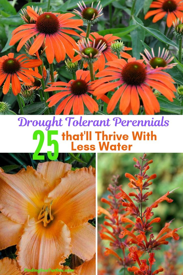 Drought Tolerant Perennials 25 That'll Thrive With Less Water #Garden #Gardening #Landscaping #DroughtResistant #DroughtTolerant #Perennials #DroughtResistantPerennials