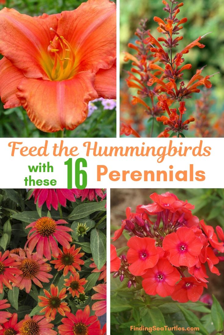 Feed The Hummingbirds With These 16 Perennials #Perennials #Garden #Gardening #Landscape #PerennialsForHummingbirds #Hummingbirds #Pollinators #GardenPollinators