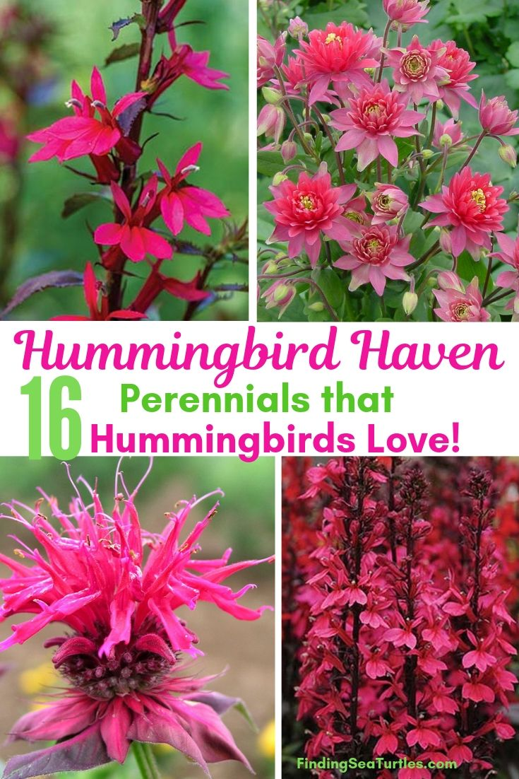 Hummingbird Haven 16 Perennials That Hummingbirds Love! #Perennials #Garden #Gardening #Landscape #PerennialsForHummingbirds #Hummingbirds #Pollinators #GardenPollinators
