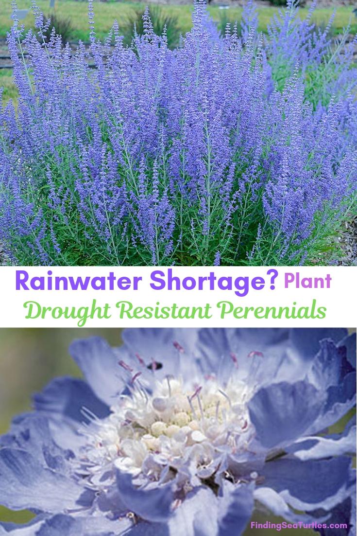Rainwater Shortage Plant Drought Resistant Perennials #Garden #Gardening #Landscaping #DroughtResistant #DroughtTolerant #Perennials #DroughtResistantPerennials
