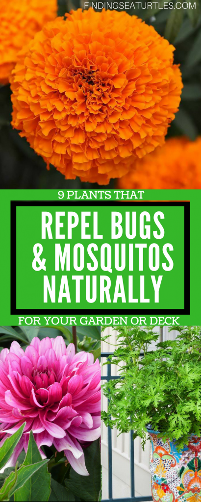 9 Plants That Repel Bugs Naturally #WhiteFlowerFarm #Organic #Natural #BugRepellingPlants #Lavender #Gardening