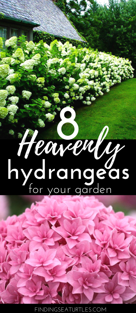 8 Heavenly Hydrangeas for your garden #TheTreeCenter #Gardening #Hydrangeas #Organic #Shrubs