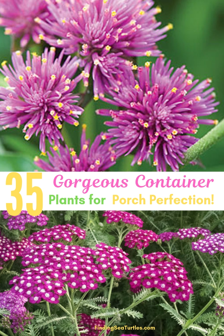 35 Gorgeous Container Plants For Porch Perfection! #Garden #Gardening #ContainerPlants #HangingBaskets #WindowBoxes #ContainerGardening #Porch #Patio #Balcony #Deck