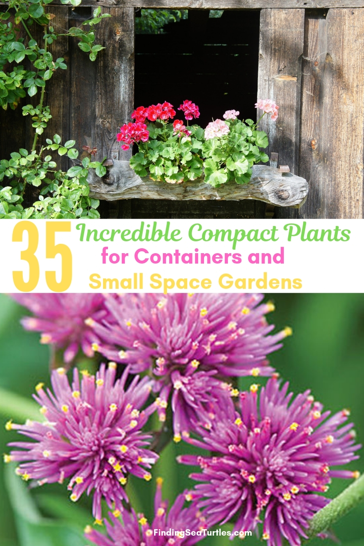 35 Incredible Compact Plants For Containers And Small Space Gardens #Containers #ContainerGardening #Gardens #Gardening #Porch #Deck #Patio #Landscape