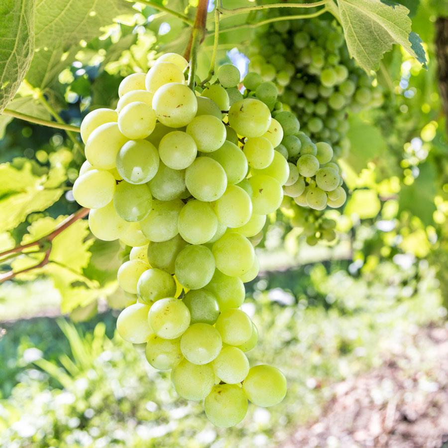 17 Vibrant Flowering Vines For Your Arbor, Trellis, or Pergola Vitis Labrusca Himrod Table Grape #TableGrapes #VitisLabruscaHimrodTableGrapes #Vines #Climbers #Arbor #Trellis #Pergola #VinesForArbors #VinesForTrellis #PergolaClimbers #TrumpetVine #Clematis #FragrantVine #FragrantClimbers #Perennials #HeatTolerant #ButterflyLover #ParkSeed