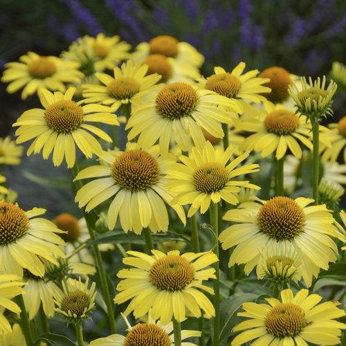 35 Cool Container Plants - Butterfly Cleopatra Coneflower Echinacea #Perennials #Fragrant #ContainerPlants #ScentedPerennials #Gardening #ContainerGardening #PatioGarden #PatioPlants #Landscape #Organic #Garden #SmallSpaceGardening #Burpee
