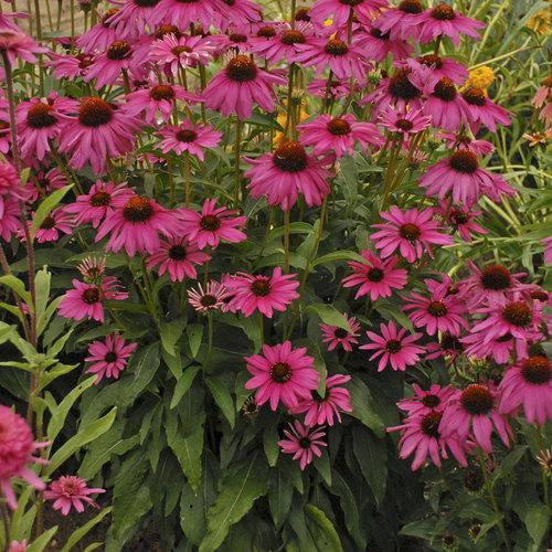 35 Cool Container Plants - Butterfly Purple Emperor Coneflower Echinacea #Perennials #Fragrant #ContainerPlants #ScentedPerennials #Gardening #ContainerGardening #PatioGarden #PatioPlants #Landscape #Organic #Garden #SmallSpaceGardening #Burpee #echinacea #coneflower