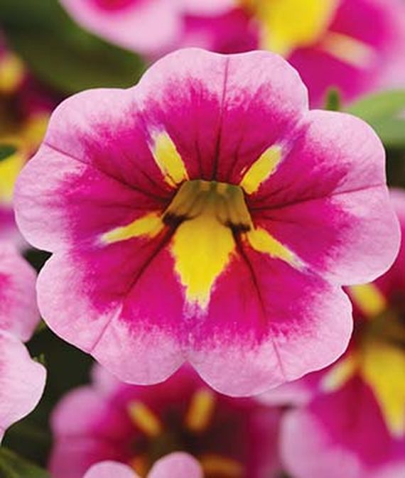 35 Cool Container Plants Can Can Bumble Bee Pink Calibrachoa #Annual #HangingBasketPlant #WindowBoxPlants #Calibrachoa #Pink #PinkCalibrachoa #CanCanBumbleBeePink #Fragrant #ContainerPlants #Gardening #ContainerGardening #PatioGarden #PatioPlants #Landscape #Organic #Garden #SmallSpaceGardening #Burpee