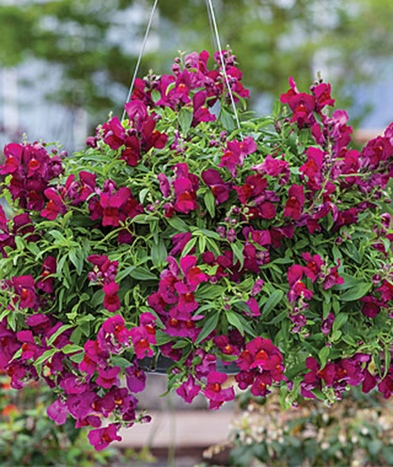 35 Cool Container Plants Candy Showers Deep Purple Snapdragon #Snapdragon #CandyShowersDeepPurple #Fragrant #ContainerPlants #Gardening #ContainerGardening #PatioGarden #PatioPlants #Landscape #Organic #Garden #SmallSpaceGardening #Burpee