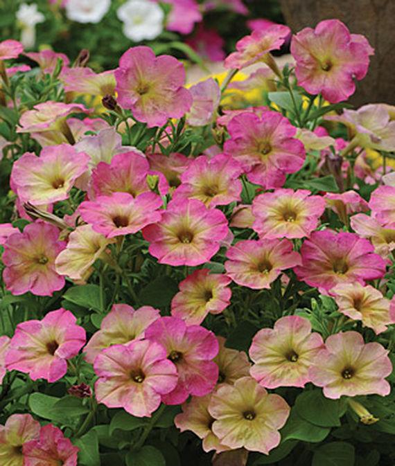 35 Cool Container Plants - Debonair Dusty Rose Hybrid Petunia #Perennials #Fragrant #ContainerPlants #ScentedPerennials #Gardening #ContainerGardening #PatioGarden #PatioPlants #Landscape #Organic #Garden #SmallSpaceGardening #Burpee #petunia