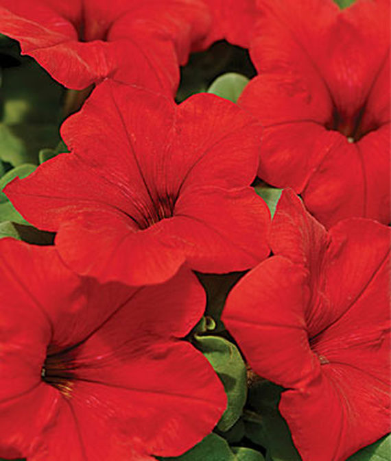 35 Cool Container Plants Easy Wave Red Hybrid Petunia #DroughtResistant #EasyWaveRedPetunia #Petunia #Fragrant #ContainerPlants #Annuals #Gardening #ContainerGardening #PatioGarden #PatioPlants #Landscape #Organic #Garden #SmallSpaceGardening #Burpee