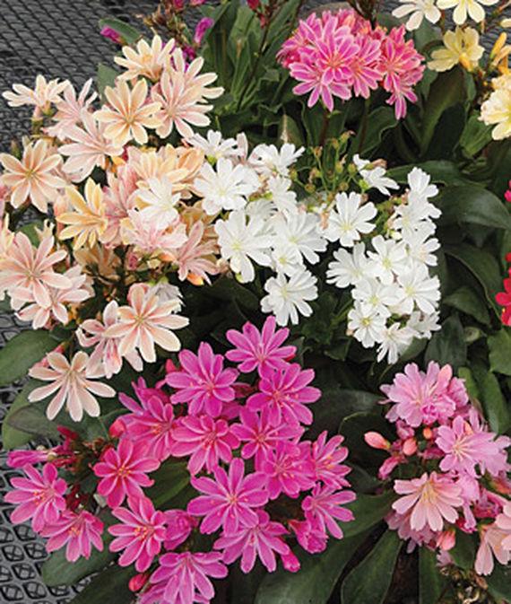 35 Cool Container Plants Elise Mix Lewisia #EliseMixLewisia #RockGardens #Perennials #Fragrant #ContainerPlants #ScentedPerennials #Gardening #ContainerGardening #PatioGarden #PatioPlants #Landscape #Organic #Garden #SmallSpaceGardening #Burpee