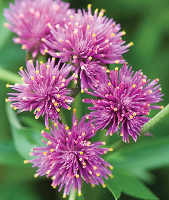 35 Cool Container Plants Fireworks Gomphrena #FireworksGomphrena #Gomphrena #ContainerPlants #Annuals #Gardening #ContainerGardening #PatioGarden #PatioPlants #Landscape #Organic #Garden #SmallSpaceGardening #Burpee