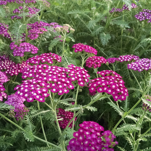 35 Cool Container Plants New Vintage Violet Yarrow Achillea #Yarrow #Achillea #NewVintageViolet #Perennials #Fragrant #ContainerPlants #ScentedPerennials #Gardening #ContainerGardening #PatioGarden #PatioPlants #Landscape #Organic #Garden #SmallSpaceGardening #Burpee
