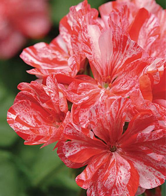 35 Cool Container Plants - Peppermint Twist Geranium #Perennials #Fragrant #ContainerPlants #ScentedPerennials #Gardening #ContainerGardening #PatioGarden #PatioPlants #Landscape #Organic #Garden #SmallSpaceGardening #Burpee #geranium