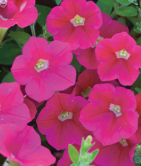 35 Cool Container Plants Shock Wave Coral Crush Petunia #Petunia #Coral #ShockWaveCoralCrush #CoralPetunia #WindowBoxPlanting #Annuals #Fragrant #ContainerPlants #Gardening #ContainerGardening #PatioGarden #PatioPlants #Landscape #Organic #Garden #SmallSpaceGardening #Burpee