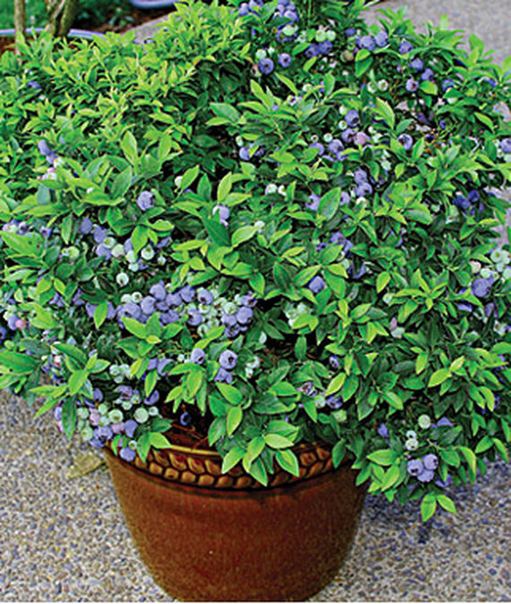 35 Cool Container Plants Top Hat Blueberry #Blueberry #TopHatBlueberry #Fruit #Perennials #Fragrant #ContainerPlants #ScentedPerennials #Gardening #ContainerGardening #PatioGarden #PatioPlants #Landscape #Organic #Garden #SmallSpaceGardening #Burpee