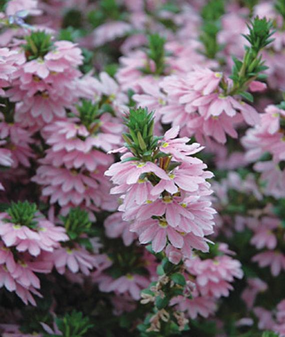 35 Cool Container Plants Topaz Pink Scaevola #Scaevola #TopazPink #Annuals #Fragrant #ContainerPlants #Gardening #ContainerGardening #PatioGarden #PatioPlants #Landscape #Organic #Garden #SmallSpaceGardening #Burpee