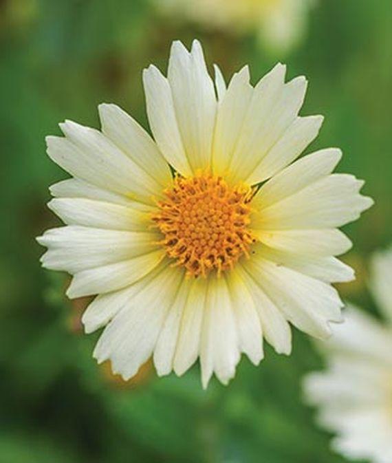 35 Cool Container Plants Uptick Cream Coreopsis #UptickCreamCoreopsis #Coreopsis #Perennials #Fragrant #ContainerPlants #ScentedPerennials #Gardening #ContainerGardening #PatioGarden #PatioPlants #Landscape #Organic #Garden #SmallSpaceGardening #Burpee