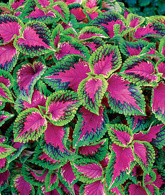 35 Cool Container Plants - Watermelon Coleus #Perennials #Fragrant #ContainerPlants #ScentedPerennials #Gardening #ContainerGardening #PatioGarden #PatioPlants #Landscape #Organic #Garden #SmallSpaceGardening #Burpee #watermelonColeus