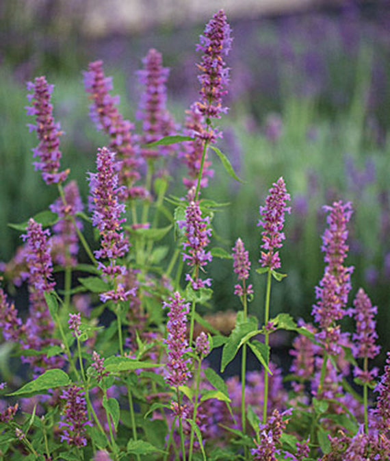 32 Pretty Fragrant Perennials Agastache Blue Boa #Perennials #FragrantPerennials #ScentedPerennials #Gardening #FragrantGarden #Landscape #Garden