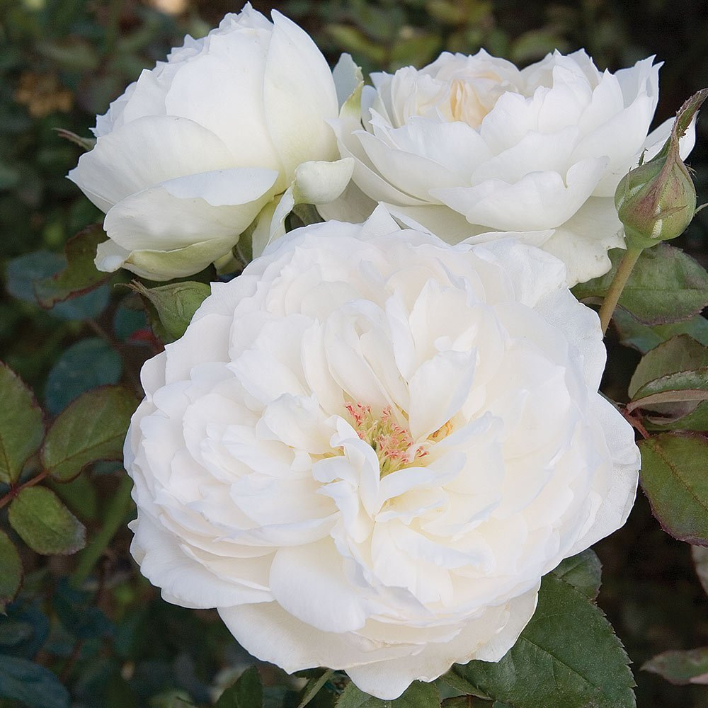32 Pretty Fragrant Perennials Bolero Rose Bush Reblooming Floribunda Fragrant #Perennials #FragrantPerennials #ScentedPerennials #Gardening #FragrantGarden #Landscape #Garden