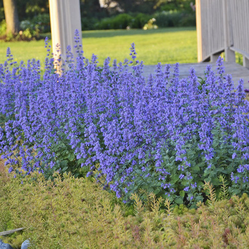 32 Pretty Fragrant Perennials Cats Meow Catmint Nepeta #Perennials #FragrantPerennials #ScentedPerennials #Gardening #FragrantGarden #Landscape #Garden