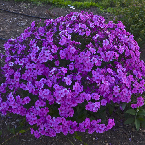 32 Pretty Fragrant Perennials Cloudburst Tall Cushion Phlox