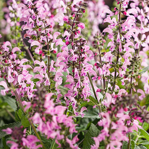 32 Pretty Fragrant Perennials Color Spires Pink May Night Salvia #Perennials #FragrantPerennials #ScentedPerennials #Gardening #FragrantGarden #Landscape #Garden