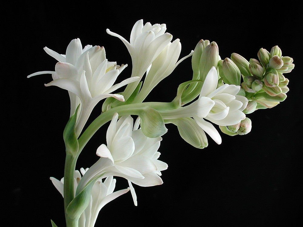 32 Pretty Fragrant Perennials Double Pearl Tuberose Bulbs Polianthus #Perennials #FragrantPerennials #ScentedPerennials #Gardening #FragrantGarden #Landscape #Garden