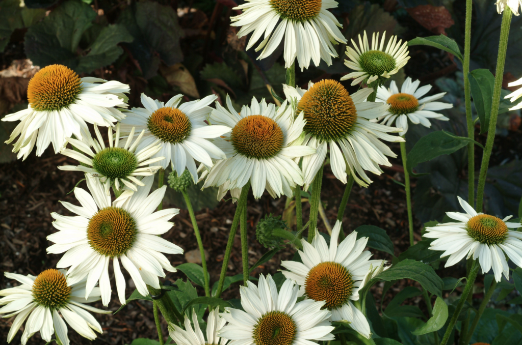32 Pretty Fragrant Perennials Fragrant Angel Coneflower #Perennials #FragrantPerennials #ScentedPerennials #Gardening #FragrantGarden #Landscape #Garden