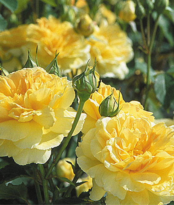 32 Pretty Fragrant Perennials Molineux English Rose #Perennials #FragrantPerennials #ScentedPerennials #Gardening #FragrantGarden #Landscape #Garden
