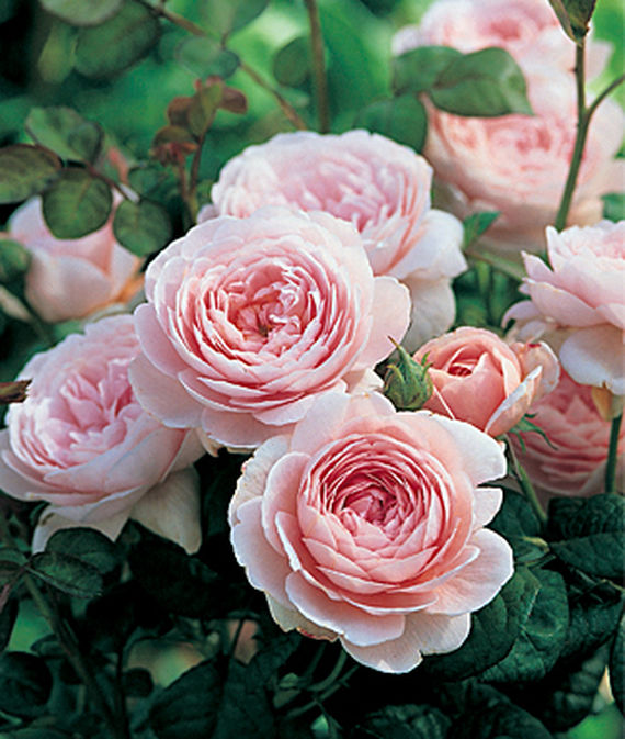 32 Pretty Fragrant Perennials Queen Of Sweden English Rose #Perennials #FragrantPerennials #ScentedPerennials #Gardening #FragrantGarden #Landscape #Garden