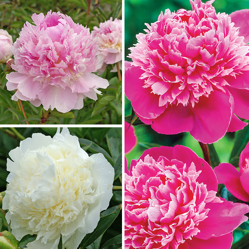 32 Pretty Fragrant Perennials Seriously Fragrant Peony Collection #Perennials #FragrantPerennials #ScentedPerennials #Gardening #FragrantGarden #Landscape #Garden