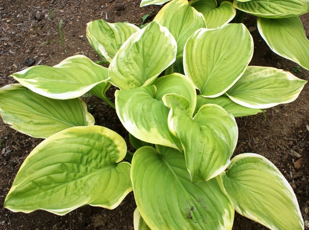 32 Most Fragrant Perennials Fragrant Bouquet Hosta #Perennials #FragrantPerennials #ScentedPerennials #Gardening #FragrantGarden #Landscape #Garden