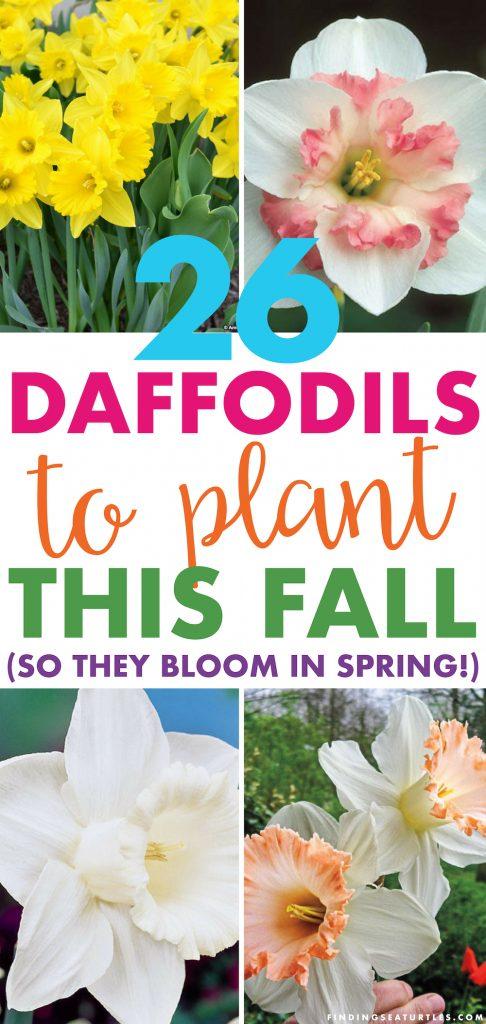 26 Spring Blooming Daffodils Narcissus Ornatus #Daffodils #FragrantDaffodils #Narcissus #Spring #SpringBulbs #BulbPlanting #FallPlanting #Gardening #Landscape #WhiteFlowerFarm #DeerResistant