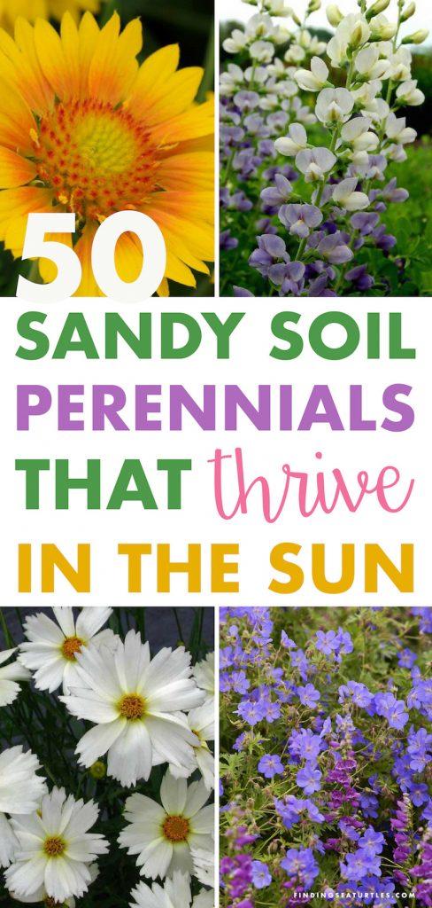 50 Sandy Soil Perennials That Like Sun Sunloving Sunlover Sandysoil