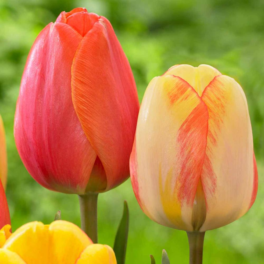 Early Season Garden Color Ad Rem Tulip and Beauty of Spring Tulip #Tulip #Spring #SpringBulbs #PlantSpringBulbs #FallisForPlanting #SpringGarden #Garden