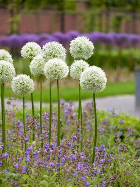 20 Sensational Spring Blooming Bulbs to Plant This Fall Allium Mount Everest #Allium #Spring #SpringBulbs #PlantSpringBulbs #FallisForPlanting #SpringBlooming #SpringGarden #Garden #Landscape #Organic #BluestonePerennials #MountEverestAllium #AttractsButterflies #DeerResistant #RabbitResistant #ContainerGardening