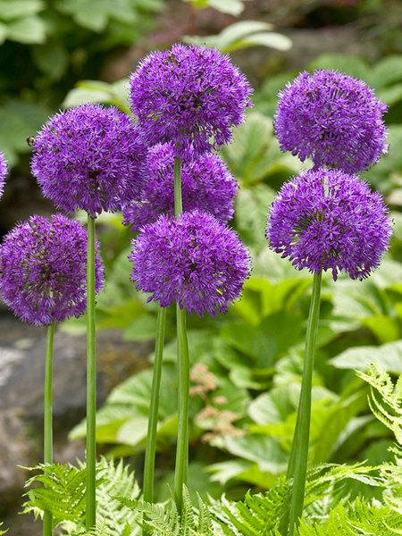 20 Sensational Spring Blooming Bulbs to Plant This Fall Allium Purple Sensation #Allium #Spring #SpringBulbs #PlantSpringBulbs #FallisForPlanting #SpringBlooming #SpringGarden #Garden #Landscape #Organic #BluestonePerennials #PurpleSensationAllium #AttractsButterflies #DeerResistant #RabbitResistant #ContainerGardening