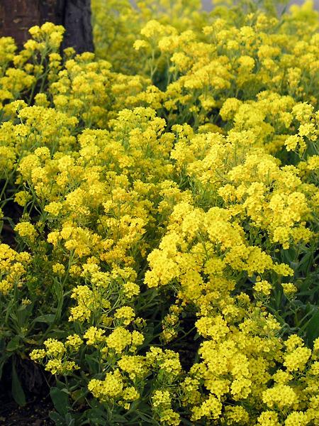 50 Sandy Soil Perennials That Like Sun Alyssum Gold Dust #Alyssum #AlyssumGoldDust #BasketofGold #SeasideTolerant #Perennials #SunLoving #SunLover #SandySoil #Gardening #Landscape #BluestonePerennials #SandySoilPerennials