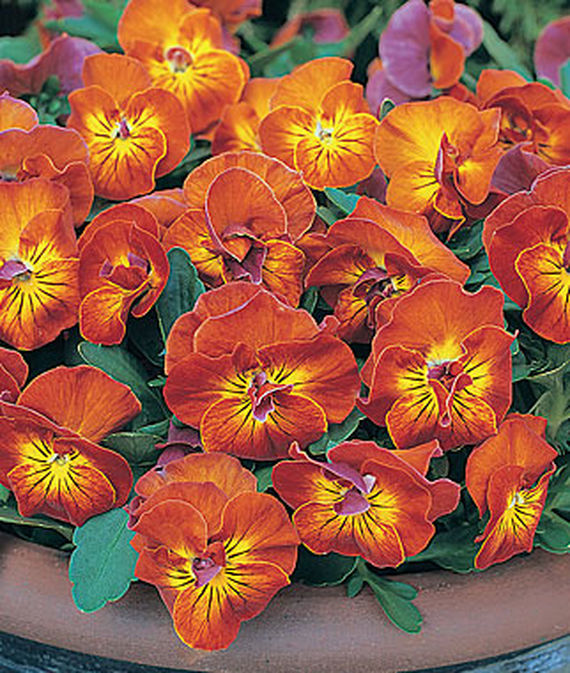 8 Fantastic Annuals to Plant this Fall Amber Kiss Viola #FallGarden #FallPlanting #Annuals #FallIsForPlanting #Gardening #FallColors