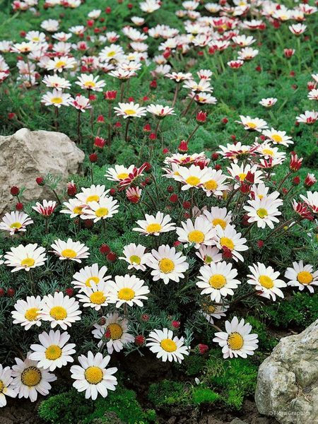 30 Rock Garden Plants That Perform Like Rock Stars Anacyclus Garden Gnome Or Mount Atlas Daisy #RockGarden #AnacyclusGardenGnome #MountAtlasDaisy #GroundCover #FallisForPlanting #PlantOnSlopes #GardenPath #GardenWalkways #DeerResistant #FootTrafficTolerant #SandySoilTolerant #Garden #GardenBeds #GardenBorders #GardenSlope #GardenBank #Landscape #Organic #BluestonePerennials