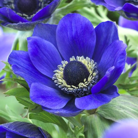 20 Sensational Spring Blooming Bulbs to Plant This Fall - Anemone De Caen Mr Fokker #Anemone #Spring #SpringBulbs #PlantSpringBulbs #FallisForPlanting #SpringBlooming #SpringGarden #Garden #Landscape #Organic #LongfieldGardens #AnemoneMrFokker #CutFlowers #ContainerGardening