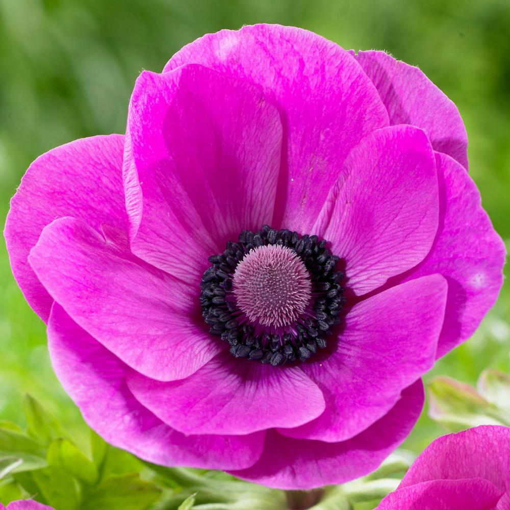20 Sensational Spring Blooming Bulbs to Plant This Fall Anemone Sylphide #Anemone #Spring #SpringBulbs #PlantSpringBulbs #FallisForPlanting #SpringBlooming #SpringGarden #Garden #Landscape #Organic #LongfieldGardens #AnemoneSylphide #CutFlowers #ContainerGardening