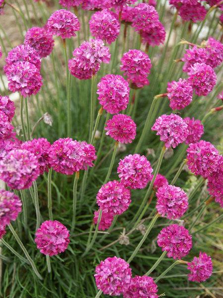22 Sandy Soil Perennials For Shade Armeria Dusseldorf Pride Or Sea Thrift #Armeria #SeaThrift #DusseldorfPride #Perennials #ShadeLoving #ShadeLover #SandySoil #SandySoilPerennials #DroughtResistant #DroughtTolerant #Gardening #Landscape #BluestonePerennials #Evergreen #CutFlowers